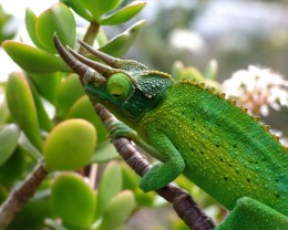 Everlasting Gems are tested and guaranteed.  (Hawaii has lots of Jackson's Chameleons.  This one got a free bug for posing.)