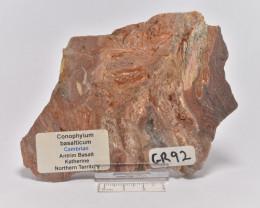 Stromatolite Conophytom basalticum slice, Australia (GR92)