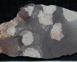 Porpitas species fossil 670myo Australia (GR86)