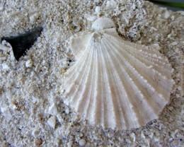 MIOCENE SEA FLOOR FOSSIL 516 GRAMS MYGM 726