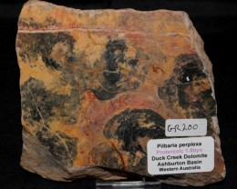 Pilbaria perplexa Stromatolite slab 1.8byo Australia  (GR200)