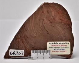 ACACIELLA AUSTRALICA STROMATOLITE SLAB, Aust (GR207)