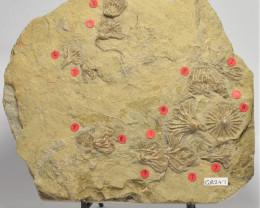 CRINOID FOSSIL, Eretmocrinus tentor.USA (GR247)