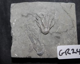 CRINOID FOSSIL,INDIANA USA (GR248)