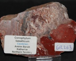 STROMATOLITE Conophytum basalticum slab, Au stralia (GR263)