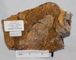STROMATOLITE ONCOLYTIC Slab AUSTRALIA (GR342)