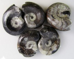400CTS 5 X MOROCAN AMMONITE (Goniatities)   GG2002