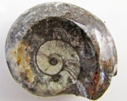 125CTS MOROCAN AMMONITE (Goniatities)   GG1999