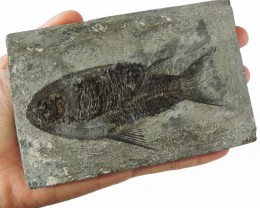 610  CTS FISH FOSSIL  INDIA  HS 41