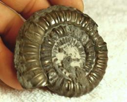 520 Carat Iron Pyrite Ammonite - 68mm