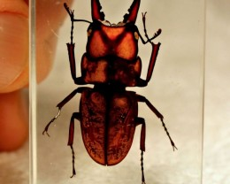 Stag Beetle in Lucite - Paperweight / Display -