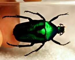 Black Strip Green Rose Beetle in Lucite - Paperweight / Display