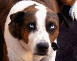 Suzie the Australian Sheep Dog.