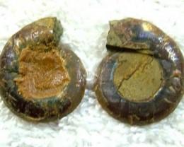 (MGW) SPECIMEN OF AMMONLITE CHELINOCERAS 20 CTS FP 246