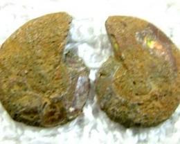 (MGW) SPECIMEN OF AMMONITE CHELINOCERAS 20 CTS FP 266