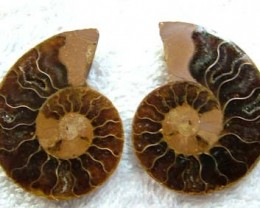 (MGW) SPECIMEN OF AMMONITE CHELINOCERAS 125 CTS FP 282