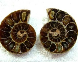 (MGW) LARGE SPECIMEN OF AMMONITE CHELINOCERAS 95 CTS FP 299