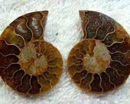(MGW) LARGE SPECIMEN OF AMMONITE CHELINOCERAS 55 CTS FP 300