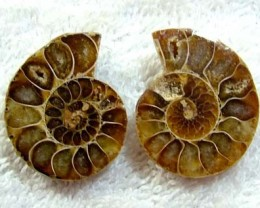 (MGW) LARGE SPECIMEN OF AMMONITE CHELINOCERAS 95 CTS FP 301