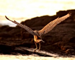 Juvenile shorebird.