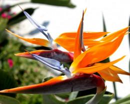 Hawaiian Orchid.