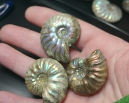 243ct parcel of 3 Ammonite high quality
