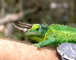 """Dragon Sam"", our local Jackson's Chameleon.   Long sticky tongue, grumpy attitude."