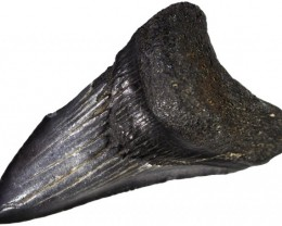 57.05 CTS  MEGALDON SHARK TOOTH FOSSIL [MGW5030]