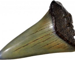 42.95 CTS  MEGALDON SHARK TOOTH FOSSIL [MGW5032]4