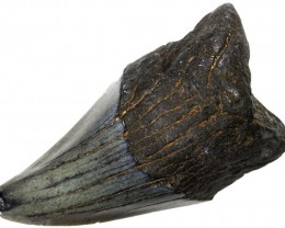 63.05 CTS  MEGALDON SHARK TOOTH FOSSIL4 [MGW5038]