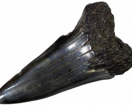 51.80 CTS  MEGALDON SHARK TOOTH FOSSIL [MGW5043]