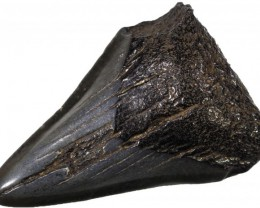 63.30 CTS  MEGALDON SHARK TOOTH FOSSIL [MGW5044]