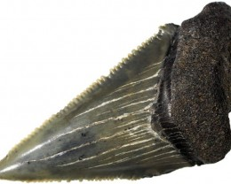 29.10 CTS  MEGALDON SHARK TOOTH FOSSIL [MGW5047]