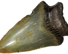 42.10 CTS  MEGALDON SHARK TOOTH FOSSIL [MGW5049]