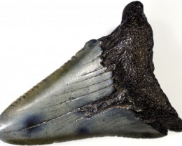76.65 CTS  MEGALDON SHARK TOOTH FOSSIL [MGW5050]