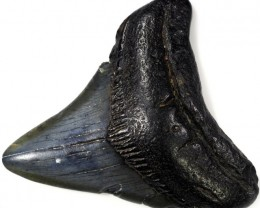 154.95 CTS  MEGALDON SHARK TOOTH FOSSIL [MGW5051]