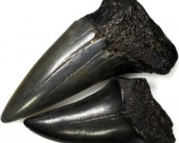 39.60 CTS  MEGALDON SHARK TOOTH FOSSIL PARCEL [MGW5053]