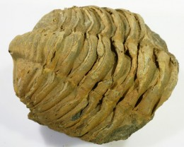 200cts C Trilobite  PPP 1371