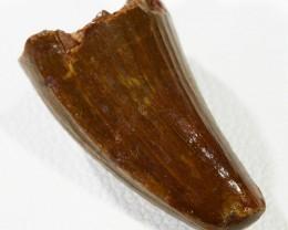 14.3cts Dinosaur Tooth ,  mosasaurid Prognathodon PPP 1380