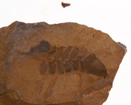 Fern Fossil on Slate  300 million years old PPP1449