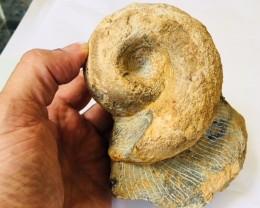 1.3 kilo Ammonite from Morocco