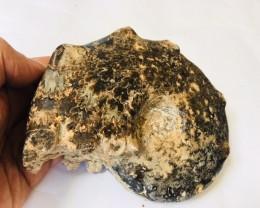 1.45 KILO Ammonite PERISPINCTES  from Morocco
