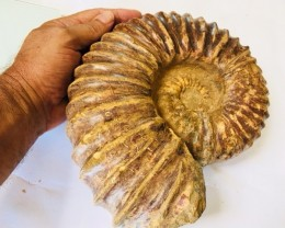 5 kilo massive  Ammonites Chelinoceros from Morocco