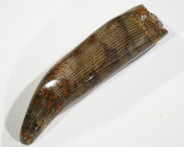 67.30Cts Polished  Horn Coral fossil morocco SU 151