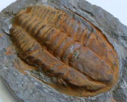 1760cts Cambrian Trilobite on matrix from Morocco SU 160