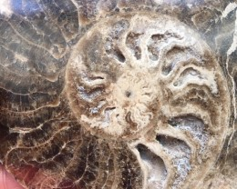 .646 vKilo Large polished Choffaticeras ammonite single  Morocco SU 212
