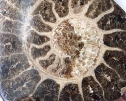 .874 Kilo Large polished Choffaticeras ammonite single Morocco SU 214