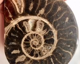 .840 Kilo Large polished Choffaticeras ammonite single Morocco SU 218