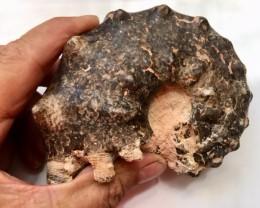 .792 Kilo Mamite ammonite specimen Morocco SU 222