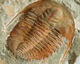 1205cts Cambrian Trilobite on matrix from Morocco SU 168